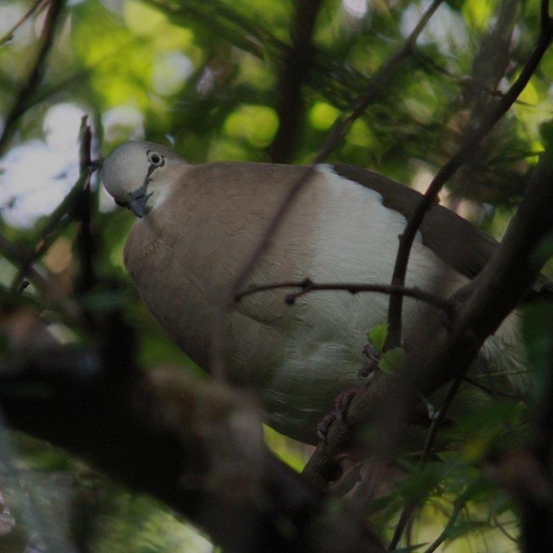 B.-Rusk_-Grenada-Dove-2011